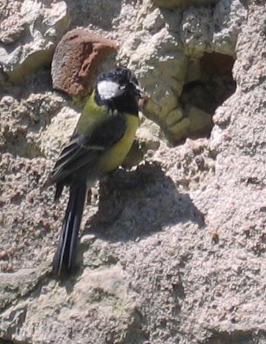 mésange, oiseaux,printemps